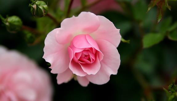 Pinkrose3