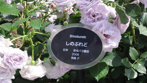 Shinoburedo